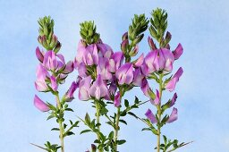 Spiny restharrow (flowering)