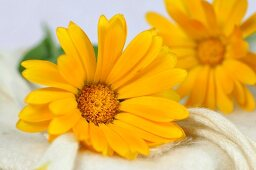 Marigolds (close-up)