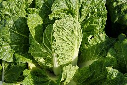 A Chinese cabbage