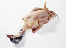 Plucked red-legged partridge