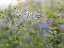 Flowering borage in garden