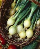 White onions, variety 'Jaune de Valence'