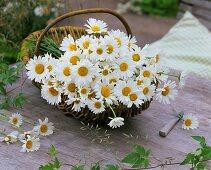 Freshly picked ox-eye daisies in a basket