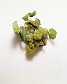 Chardonnay grapes and vine leaves