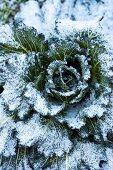 Frozen savoy cabbage in a field