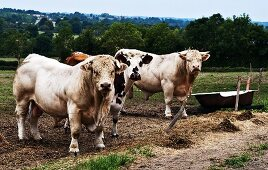 Charolais bulls in a field