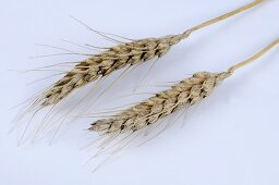 Macha wheat (Triticum macha)