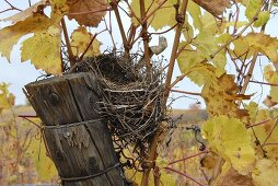 Bird's nest in a vineyard, Palatinate, Germany