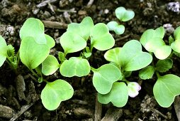 Young radish plants in a garden