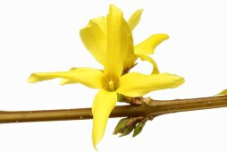 Forsythia flowers (Forsythia intermedia suspensa)