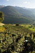 Landscape of vines, Valtellina, Lombardy, Italy