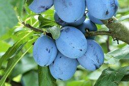 Plums (variety: Cacak Schöne) on the tree