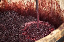 Pinot Noir grapes fermenting, De Loach Vineyards, Sonoma, California