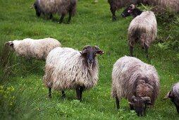 Basque sheep in a field