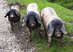 Three pigs on a farm in Les Aldules, Basque Country