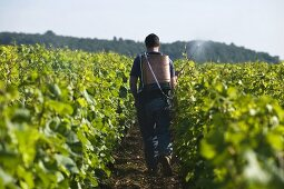 Louis-Michel Liger-Belaire, Domaine du Comte Liger-Belair, spraying a tissan from a horn silica in the Grand Cru La Romanée vineyard in the early morning, Burgundy, France