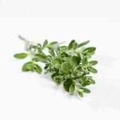 Sage (Salvia chamaaedryoides)