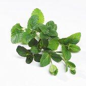 Varieties of herbs for tea