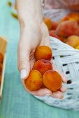 A hand filled with apricots