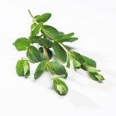 Maroccan mint (Mentha spicata 'Marocco')