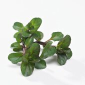 Peppermint (Mentha x piperita Glaciale)