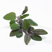 Purple sage (Salvia offincinalis)