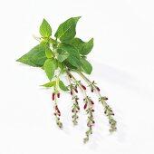 (Salvia elegans 'Scarlet Pineapple')