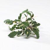 Tricolor sage (Salvia officinalis 'Tricolor')
