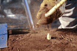 Digging up asparagus
