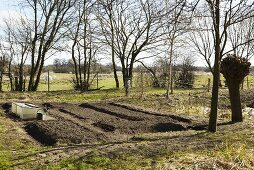 Early beets in a vegetable garden in spring
