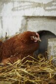 Chicken brooding in straw