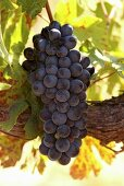 Pinotage grapes on the vine (Scali Winery, Paarl, Western Cape, SA)