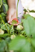 A child's hand holding strawberries on a plant