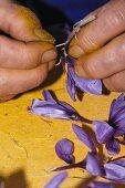 Removing saffron stigmas, Madridejos, Toledo, Castilla-La Mancha, Spain
