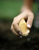 Hand holding large clove of garlic above earth
