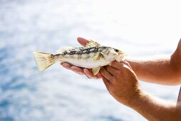 Man Holding Fresh Caught Sea Bass