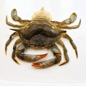 Soft Shell Crab on White