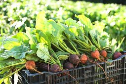 Fresh Picked Organic Beets in Crate in Field