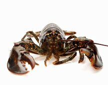 Live Maine Lobster on White
