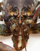 Close Up of Live Maine Lobster Face