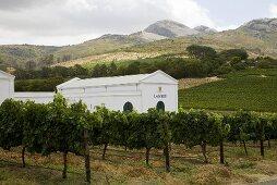 Laborie Vineyard, Paarl, South Africa