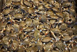Blue swimming crabs (cropped)