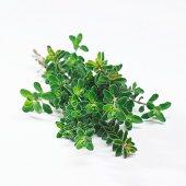 Savor (Satureja hortensis)