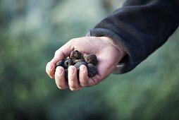 A hand holding black truffles