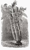 Cardoon (Illustration)