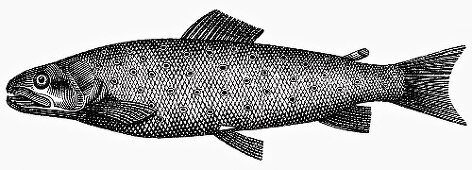 Trout (Illustration)