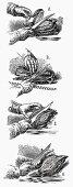 Carving poultry (Illustration)