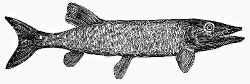 Pike (Illustration)
