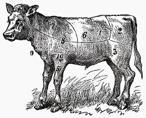 Calf (Illustration)