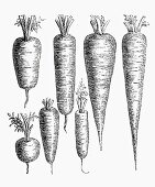 Various types of carrot (Illustration)
